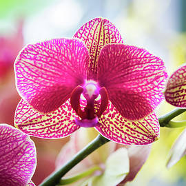 Frani Smith - Gorgeous Pink Orchid