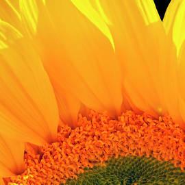 Gorgeous Sunflower  by Johanna Hurmerinta
