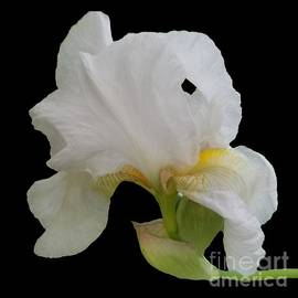 Gorgeous White Iris by Rachel Hannah