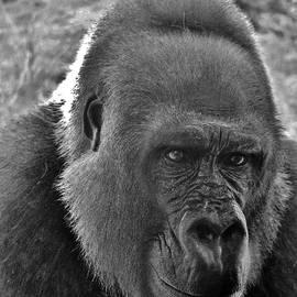 Cynthia Guinn - Gorilla Head Shot