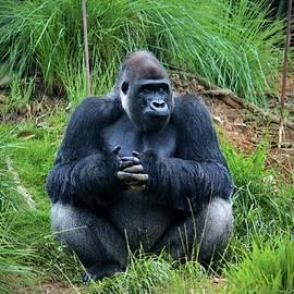 Cynthia Guinn - Gorilla Waiting For Lunch