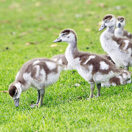 Gosling Group by Shoal Hollingsworth