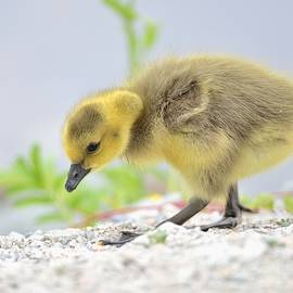 Gosling by Kathy King