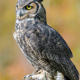 Great owl by Gina Levesque