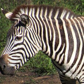 Grant's Zebra-0540 by Gary Gingrich Galleries