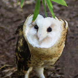 Grass Owl by Tania Read
