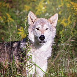 Sharon McConnell - Gray Timber Wolf In The Meadow