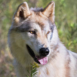 Sharon McConnell - Gray Timber Wolf Portrait