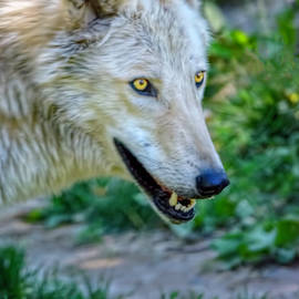 LeeAnn McLaneGoetz McLaneGoetzStudioLLCcom - Gray Wolf