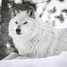 Athena Mckinzie - Gray Wolf Winter Snow