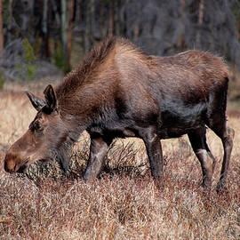 Teresa Wilson - Grazing Moose - 8741