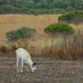 Grazing White Fawn by Carla Parris