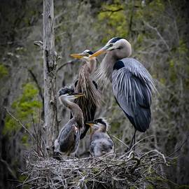 Great Blue Egret Family by Erdal Caba
