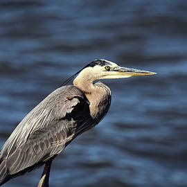 Great Blue Heron 2 by Judy Vincent