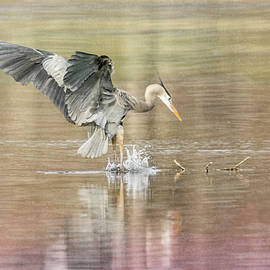 Patti Deters - Great Blue Heron #2 - Pounce