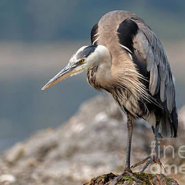 Great Blue Heron at the ready by Sue Harper