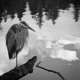 Allan Van Gasbeck - Great Blue Heron Black and White