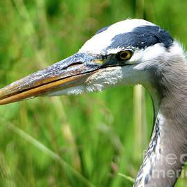 Great Blue Heron by Denise Bruchman