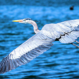 Great Blue Heron Flight by David Millenheft