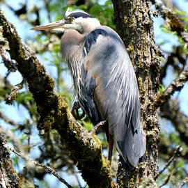 Great Blue Heron in a Tree by Denise Bruchman