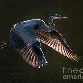 Great Blue Heron in Flight VI by Abeselom Zerit