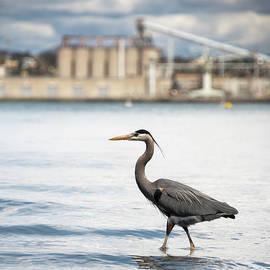 Great Blue Heron in San Diego Bay by William Dunigan