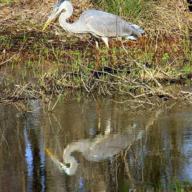 Great Blue Heron Reflections by Charlene Cox