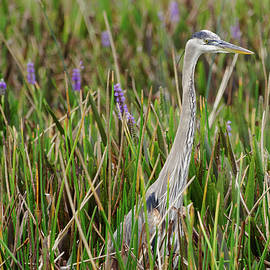 Jill Nightingale - Great Blue Heron Surrounded by Blooming Purple Pickerelweed