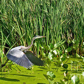 Great Blue Heron Takes Flight by Ann Horn