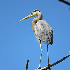 Great Blue Heron Watching And Waiting