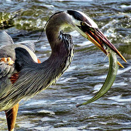 John Trommer - Great Blue Heron with a Fish