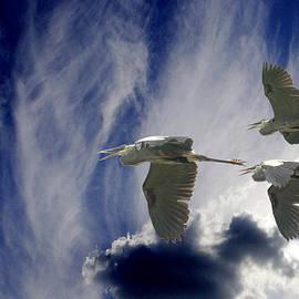 Great Blue Herons In Flight by Roy Williams