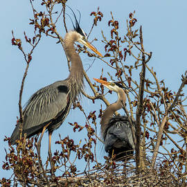 Patti Deters - Great Blue Herons - Nest Building
