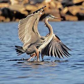 Great Blue Paso Doble by Marie Stephens