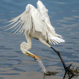 Great Egret and Fish 6636-120117-1cr by Tam Ryan