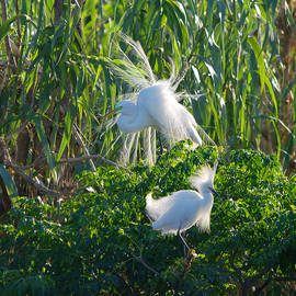 Roy Williams - Great Egret and Snowy Egret Sharing Trees