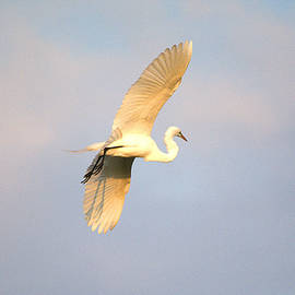 Great Egret Bathed In Golden Sunlight by Roy Williams