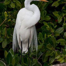 Great Egret by Chris Scroggins