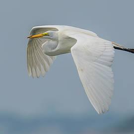 Great Egret Flight by Morris Finkelstein