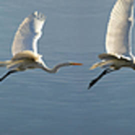 Great Egret Flight Sequence by Brian Tada