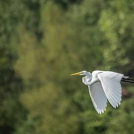 Jemmy Archer - Great Egret Flying I I