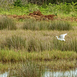 Kay Brewer - Great White Egret Flying