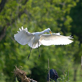 Great Egret - Hey Get Outta My Spot by Roy Williams