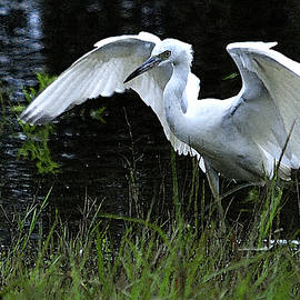 Roy Williams - Great Egret Hunting
