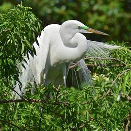 Carol Bradley - Great Egret in Breeding Color and Plumage
