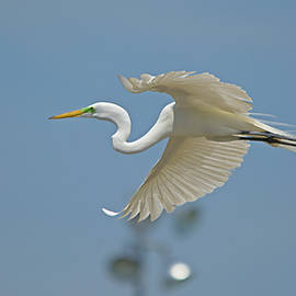 Roy Williams - Great Egret In Flight And Flood Lighting