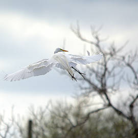 Roy Williams - Great Egret In Flight Looking Toward Right Wing