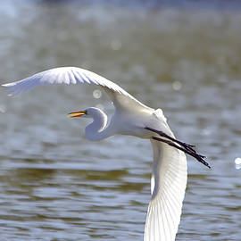 Great Egret In Flight - Painterly by Roy Williams
