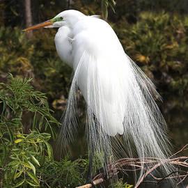 Great Egret in Tree by Carol Groenen