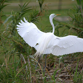 Roy Williams - Great Egret Landing On The Ground